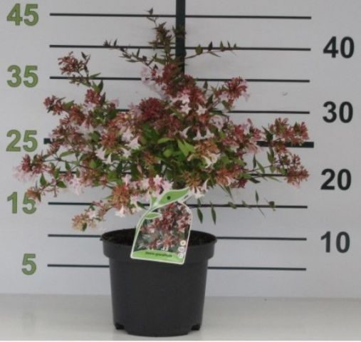Abelia Grandiflora 2L 20/30