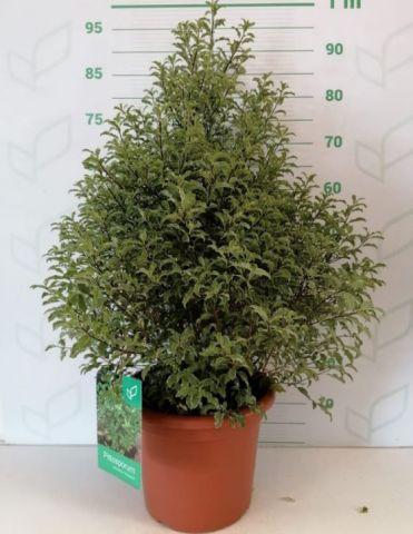 Pittosporum Tenuifolium 10L Penmach