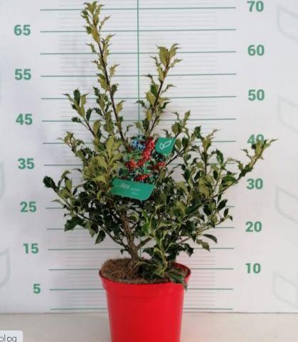 Ilex Aquifolium 2.5L Alaska