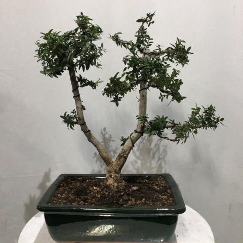Bonsai Boj T25 buxus n2