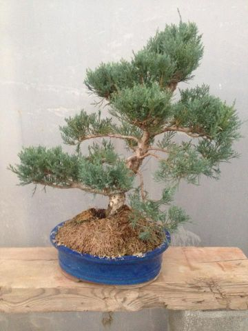 BONSAI JUNIPERUS T30