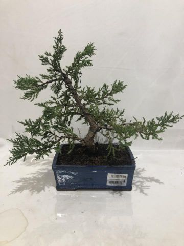 BONSAI JUNIPERUS OLD GOLD T20 A7/1