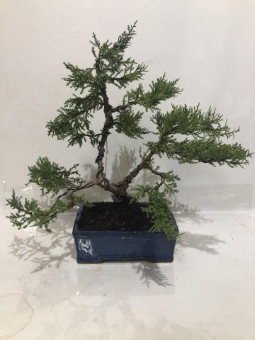 BONSAI JUNIPERUS OLD GOLD T20 A7/2