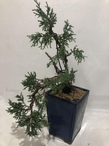 BONSAI JUNIPERUS OLD GOLD CASCADA 13X13X19