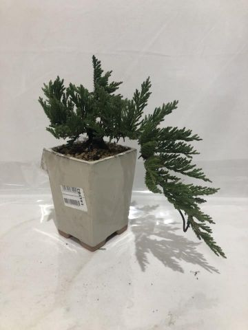 BONSAI JUNIPERUS OLD GOLD CASCADA 10X10X15