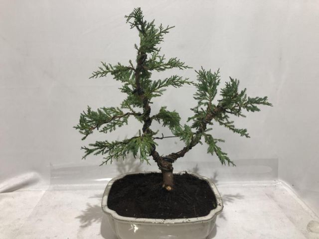 BONSAI JUNIPERUS T25 BASIC OLD GOLD