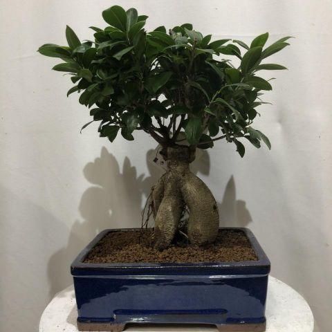 Bonsái Ficus T25 Microcarpa ginseng