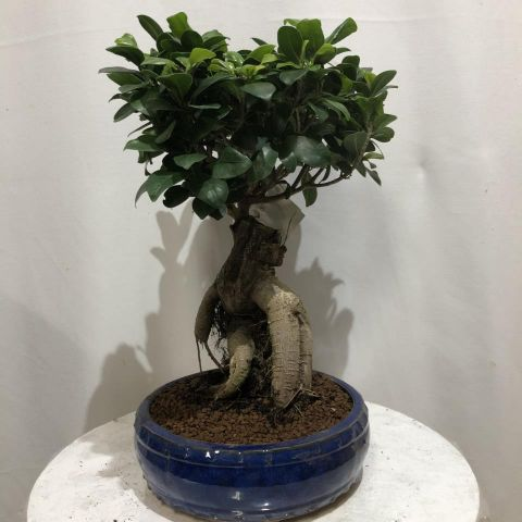 Bonsái Ficus T25 Redonda Microcarpa ginseng