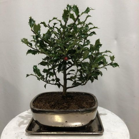 Bonsái Ilex T20 Aquifolium Alaska
