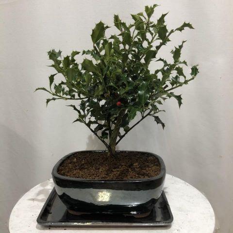 Bonsái Ilex T20 Aquifolium Alaska 01