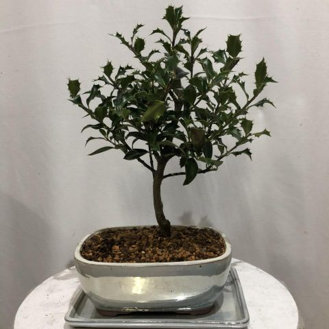 Bonsái Ilex T20 Aquifolium Alaska 02