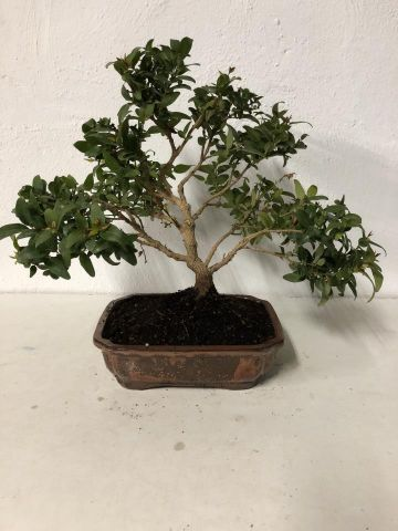 BONSAI JAZMIN MULTIPARTITUM T20