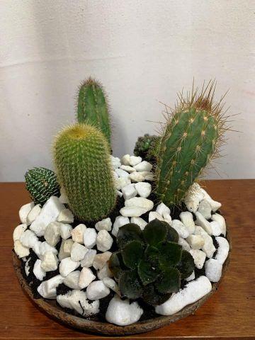 Compo Cactus Plato Rus 6c