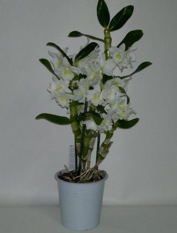 Dendrobium M12 2T