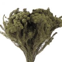 Brunia Preserada Albiflora Gris
