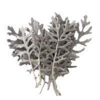 Cineraria hojas preservada