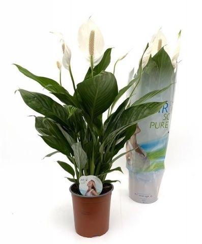 Spathiphyllum M19 Cupido 80cm