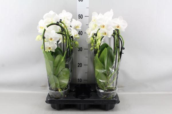 Phaleonopsis M12 Cascada