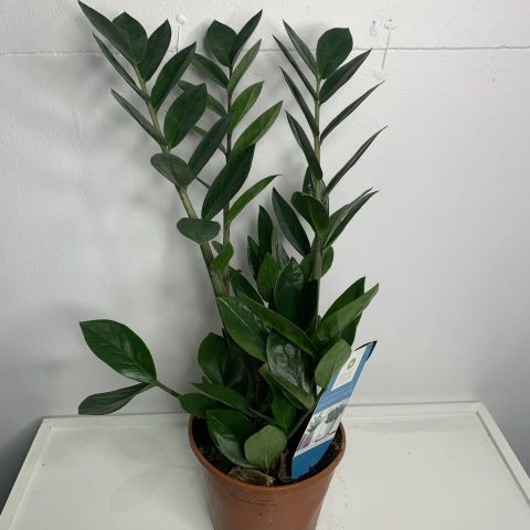 Zamioculcas zamifolia14