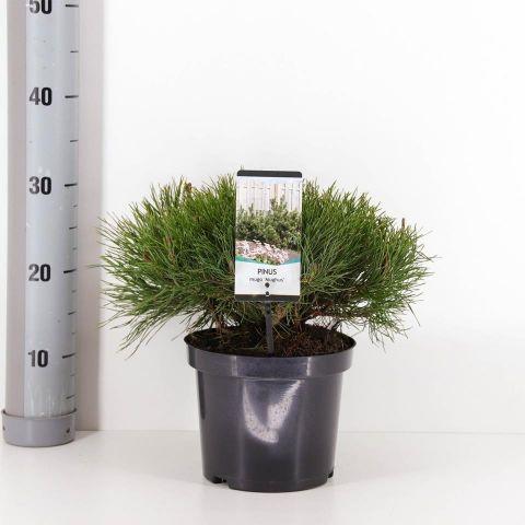 Pinus Musgo M19