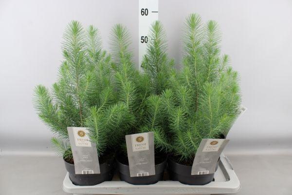 Pinus Pinea M17 Silver Crest