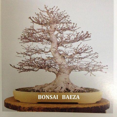 Bonsái Ficus 10A Retusa